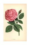 La France Rose  Pink Hybrid