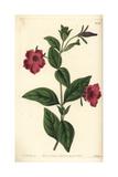 Violet-Flowered Petunia  Petunia Integrifolia