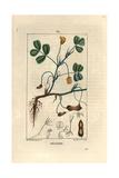 Groundnut or Peanut  Arachis Hypogaea