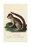 Woolly Lemur or Indri  Lemur Laniger