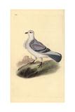 Turbit Pigeon  Columba Livia Domestica Var Turbita