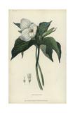 Great White Trillium  Trillium Grandiflorum