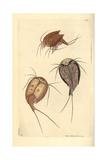 Tadpole Shrimp  Lepidurus Apus  Living Fossil