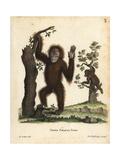 Sumatran Orangutan  Pongo Abelii