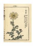 Edible Chrysanthemum  Chrysanthemum Coronarium