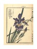 Hanagatsumi Iris  Iris Species
