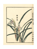 Dokutoran  Shuran or Noble Orchid  Cymbidium Goeringii
