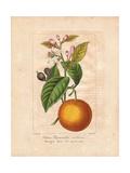 Bigarade Bitter Orange  Citrus X Aurantium