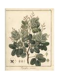 Copal or Copaiba Tree  Copaifera Coriacea