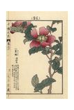Christmas Camellia  Camellia Sasanqua