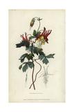 Slender Canadian Columbine  Aquilegia Canadensis Gracilis