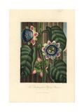 Quadrangular Passion Flower  Passiflora Quadrangularis