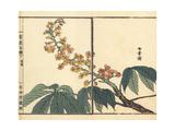 Tochinoki or Japanese Horse Chestnut  Aesculus Turbinata