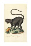 Black Maucauco or Black Lemur  Eulemur Macaco