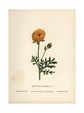 Persian Buttercup  Ranunculus Asiaticus