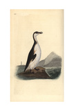 Great Auk  Pinguinus Impennis  Hunted to Extinction in 1844