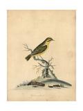 Yellow Finch  Fringilla Butyracea Extinct