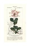 Goat-Leaf Honeysuckle  Lonicera Caprifolium