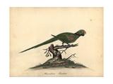 Alexandrine Parakeet  Psittacula Eupatria