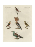 European Roller  Hoopoe  Red Crossbill  and Thrush Nightingale