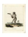 Silvery Gibbon  Hylobates Moloch