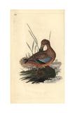Shoveler Duck (Female)  Anas Clypeata