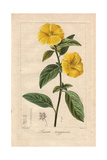 French or Yellow Flax  Linum Trigynum