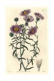 Ashy Tansy-Aster  Dieteria Canescens Var Incana