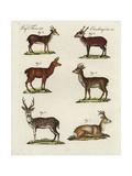 Eastern Roe Deer  Spotted Deer  Hog Deer  Muntjac Deer and Roe Deer