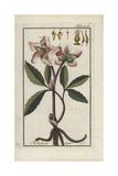 Christmas Rose or Black Hellebore  Helleborus Niger