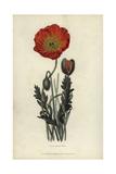 Scarlet Naked-Stalked Poppy  Papaver Nudicaule Coccinea