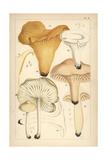 Golden Chanterelle  Gilled Mushroom  Waxy Cap and Scotch Bonnet