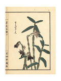 Tora Sekkoku or Japanese Stone Orchid  Dendrobium Moniliforme