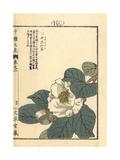 White Camellia  Camellia Japonica