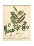 Copal or Copaiba Tree  Copaifera Oblongifolia