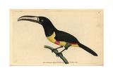Black-Necked Aracari  Pteroglossus Aracari
