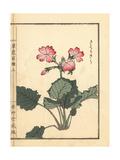 Japanese Primrose  Primula Sieboldii