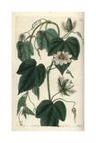 Stinking Passionflower  Passiflora Foetida Var Gossypiifolia