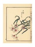 Japanese Stone Orchid  Dendrobium Moniliforme