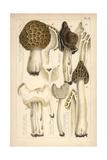 Morel  Saddle and Helvella Mushrooms
