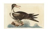 Frigate Bird  Fregata Magnificens