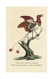 Lesser King Bird of Paradise  Cicinnurus Regius
