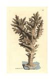Acropora Coral  Acropora Danai