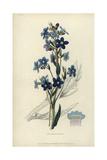 Italian Bugloss  Anchusa Azurea