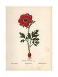 Scarlet Poppy Anemone  Anemone Coronaria