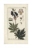 Monkshood Hybrid  Aconitum X Cammarum