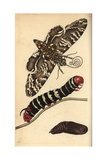 Rustic Sphinx Moth  Caterpillar and Pupa  Manduca Rustica