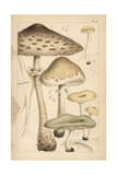 Pasture Mushrooms  Fragrant Funnel  and Aniseed Toadstool
