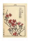 Kurume Azalea  Rhododendron Obtusum