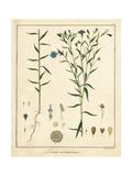 Common Flax or Linseed  Linum Usitatissimum